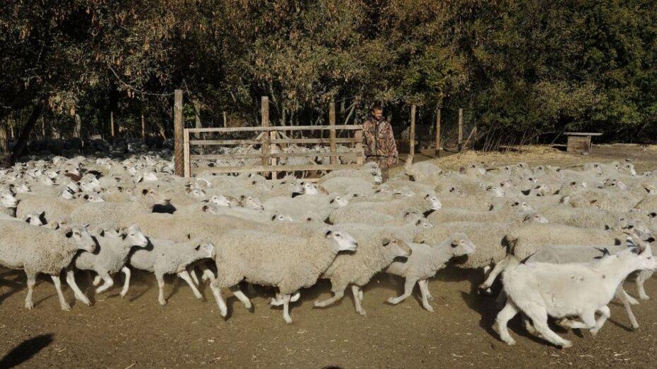 В Воронежской области житель села Гнилое украл и съел двух баранов