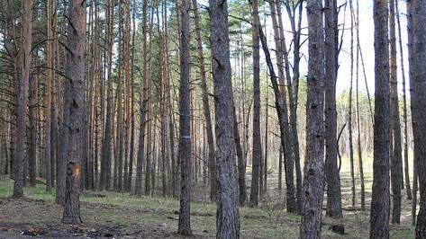 В Северном лесу Воронежа больные сосны заменят на лиственные деревья