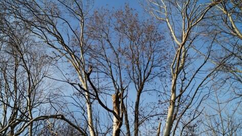 Воронежские власти выделили 25 млн рублей на вырубку и обрезку аварийных деревьев