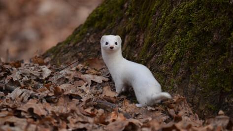 Белоснежную ласку сфотографировали в бесснежном воронежском заповеднике
