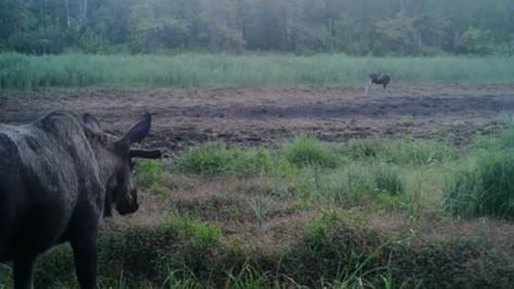 Неудачное свидание лосей в Воронежском заповеднике попало на видео