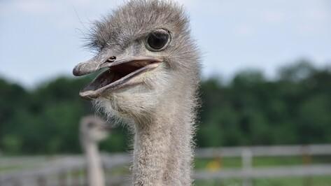 В Воронежской области страусиную ферму выставили на продажу за миллион долларов