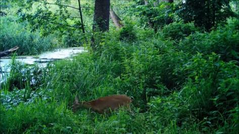 Воронежский биосферный заповедник показал косуль на водопое