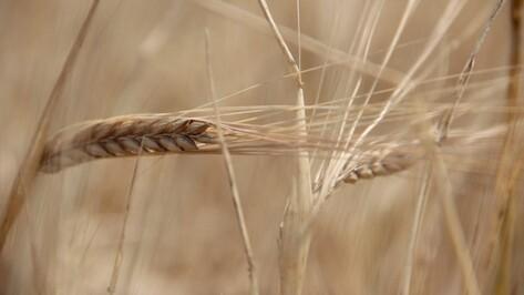 В Воронежской области собрали 4,08 млн т зерна