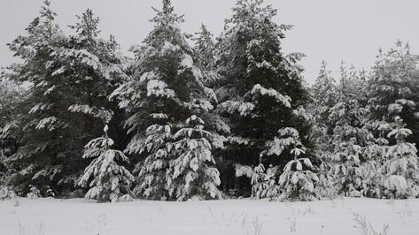 Общественники позвали воронежцев охранять редкие елки перед Новым Годом