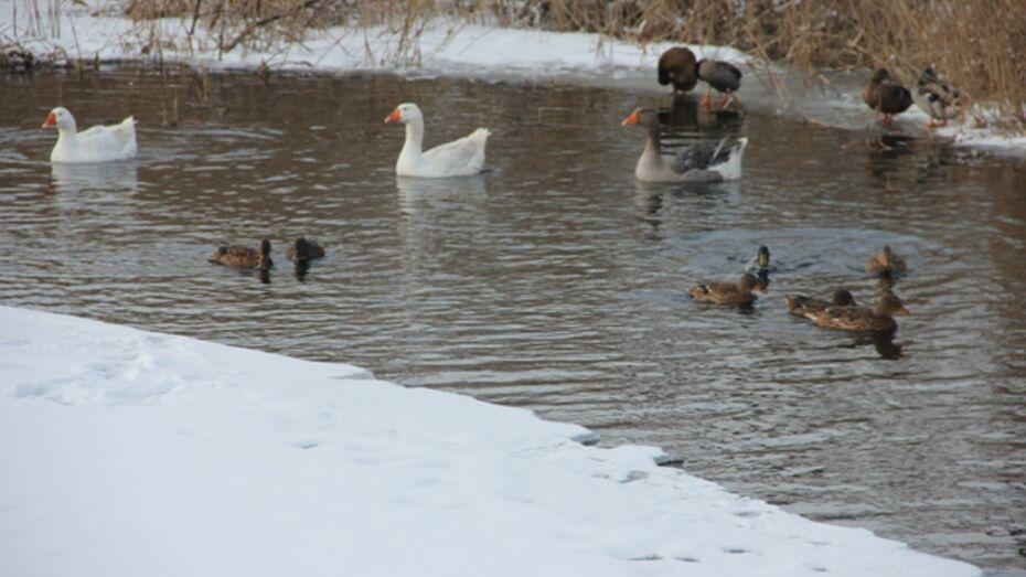 Каширские гуси открыли купальный сезон