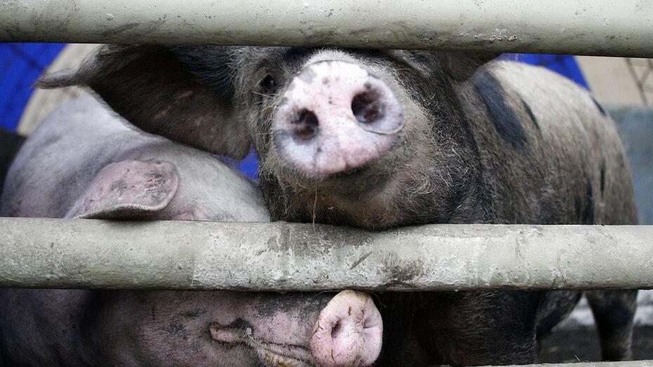 Еще один очаг африканской чумы свиней определили в Воронежской области