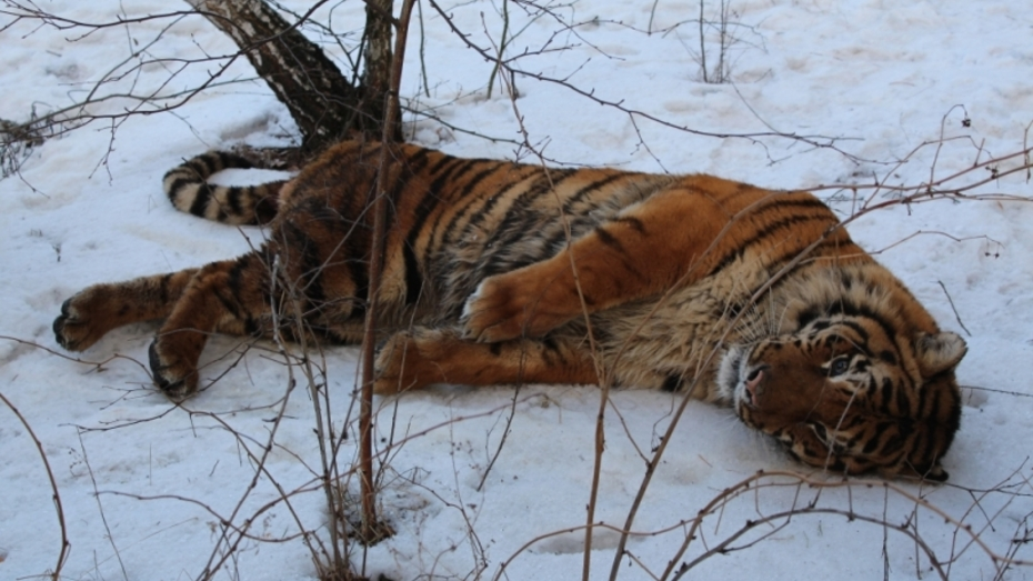 Воронежский зоопарк поместил пойманного тигра на карантин