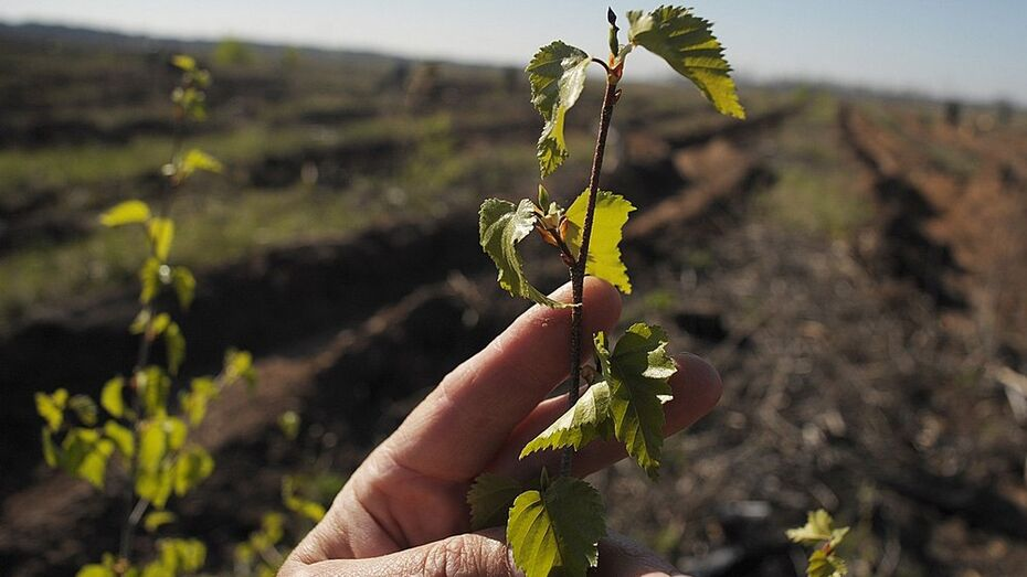 В Россошанском районе высадят около 7 тыс молодых деревьев