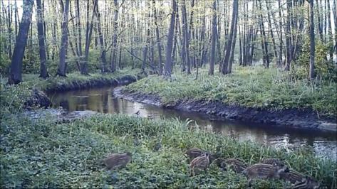 В фотоловушку Воронежского заповедника впервые попал выводок поросят