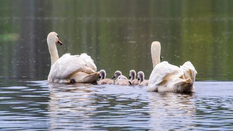 Воронежский заповедник опубликовал фотографии пары лебедей с птенцами
