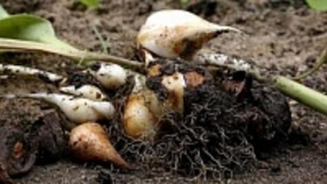 Четыре россошанские пенсионерки выкопали с городской клумбы луковицы тюльпанов на 30 тысяч рублей