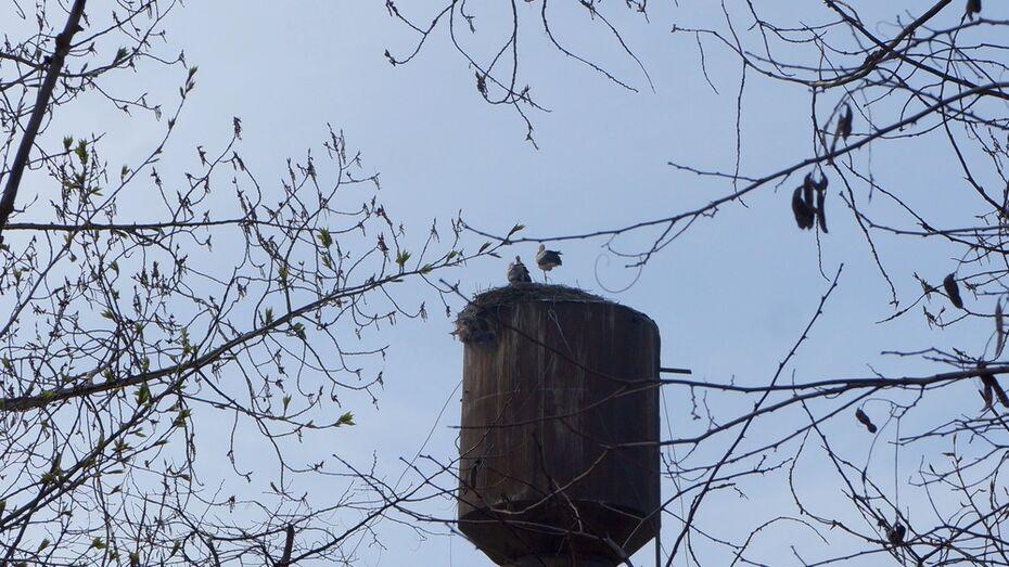 В верхнемамонском селе аисты вернулись в покинутое после гибели птенца гнездо