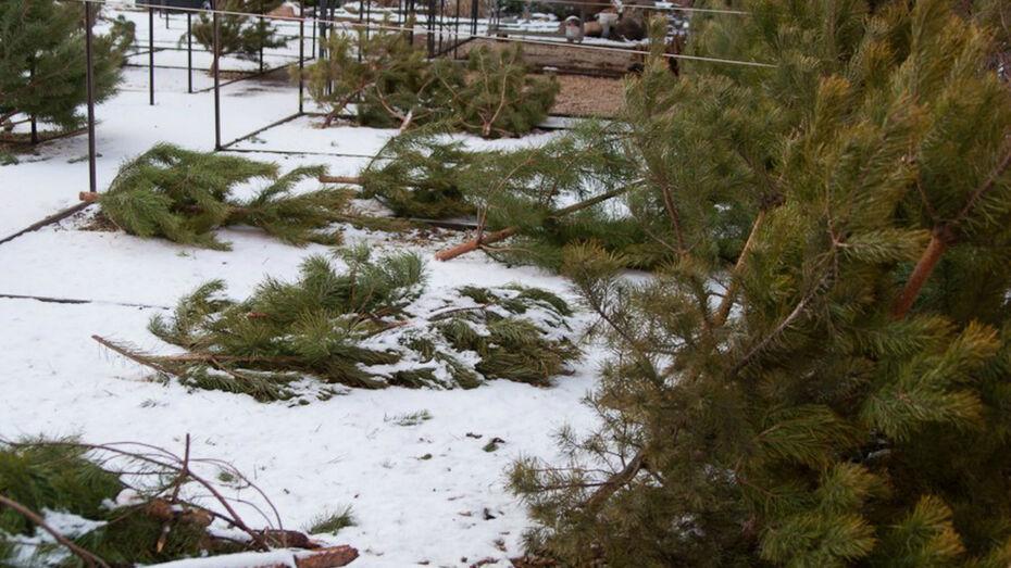 Нелегальный елочный базар закрыли в Воронеже