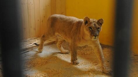 В воронежском зоопарке львицу переселили в уличный вольер