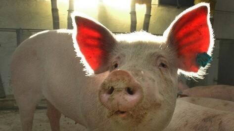 Задержанные полицией подозрительные свиньи попали на воронежский мясокомбинат