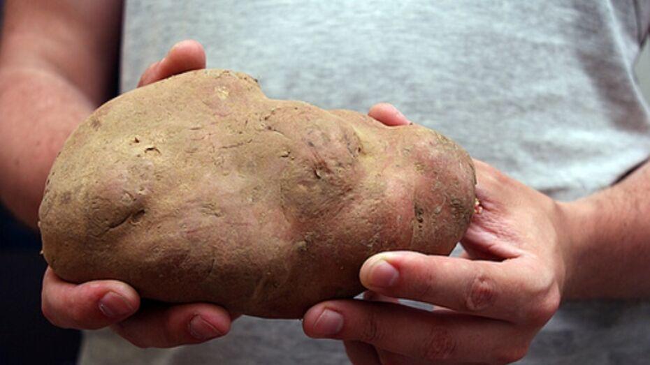 В Новохоперском районе выросла бронзовая картошка