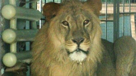 В Воронежский зоопарк привезли льва из Пензы