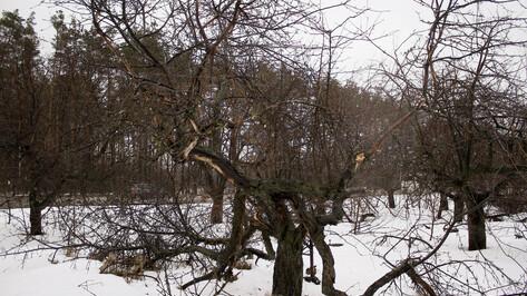 Власти задумали разбить сквер на месте воронежского яблоневого сада