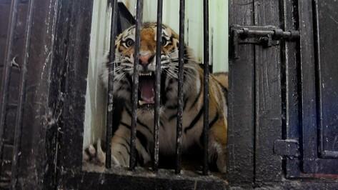 Воронежцев попросили придумать кличку амурскому тигру