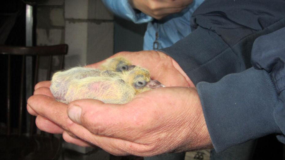 Житель Каширского района более 30 лет посвятил разведению голубей