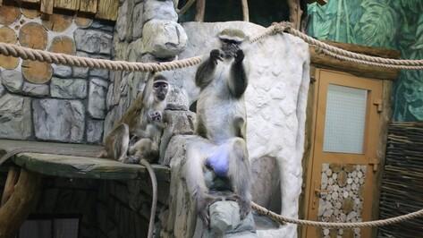 В Воронежском зоопарке открылась новая экспозиция для мартышек и сурикатов