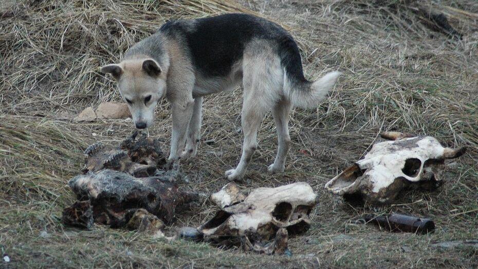 В трех районах Воронежа отстреляют бездомных собак из-за карантина по бешенству