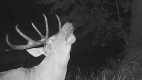 Приманивающий ревом самку олень в Воронежском заповеднике попал на видео