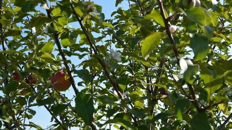 В Россошанском районе в сентябре зацвели яблони