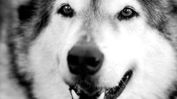 Воронежец похитил лайку с выставки охотничьих собак