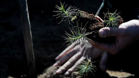 Под Воронежем появится надпись из деревьев «70 лет Победы»