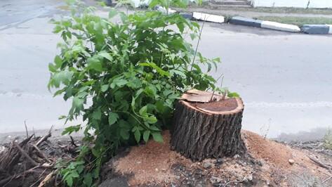 Неизвестные незаконно вырубили 12 деревьев на улице Пешестрелецкой в Воронеже