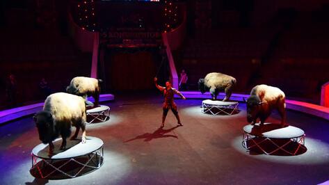С младых копыт. В Воронежском цирке поставили уникальный номер с дрессированными бизонами