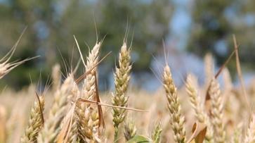 Объем господдержки воронежским аграриям в 2016 году снизится на 2 млрд рублей