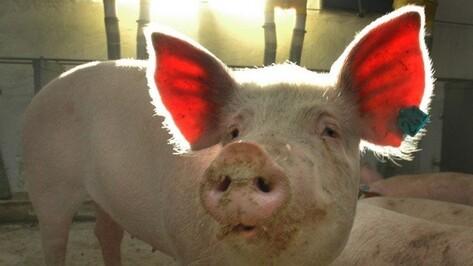 Ветеринары выявили очаг АЧС на свинокомплексе в Воронежской области