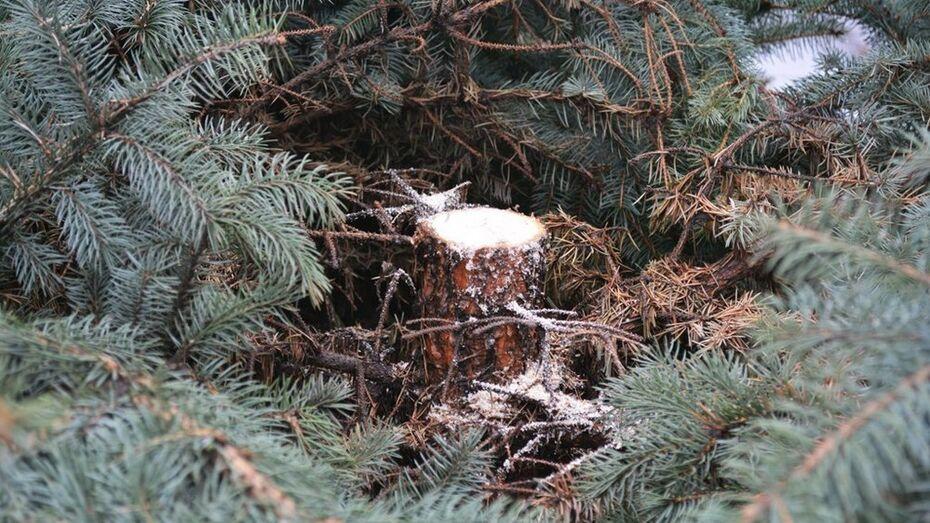Воронежские браконьеры нарубили новогодних елок на 37 тыс рублей