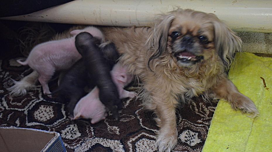 В селе Воронежской области пекинес стала «мамой» для 4-х новорожденных поросят