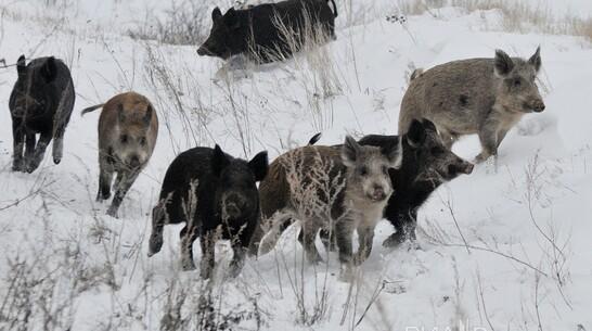 В районе Воронежской области ввели карантин по африканской чуме свиней