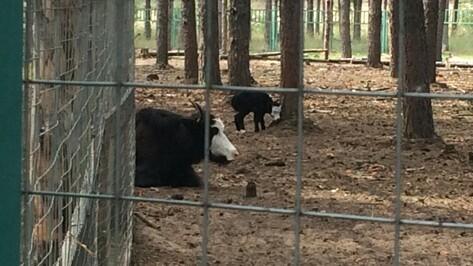 В воронежском зоопитомнике «Червленый яр» родился теленок тибетского яка