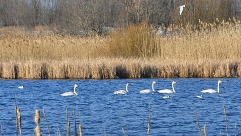 В День птиц в Эртильский район прилетели лебеди