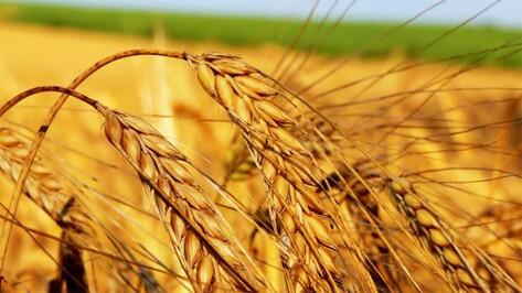 Агрофирме из Рамонского района выплатили 4,8 млн рублей страховки за погибшую пшеницу