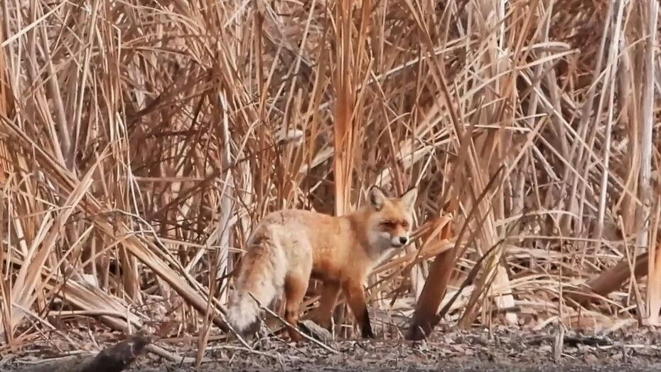 Воронежский заповедник показал на видео, как звери ищут водопой в мороз