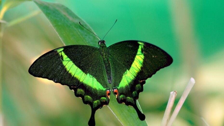 В воронежском зоопарке работает выставка живых тропических бабочек