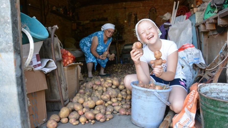 В Кантемировке собирают небывалый урожай картофеля