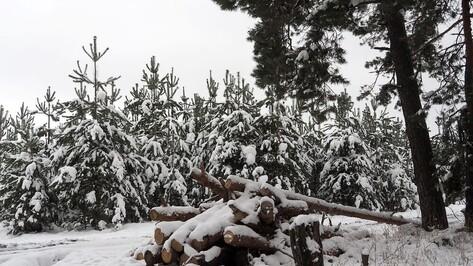 Новогодних лесорубов начали ловить в Воронежской области