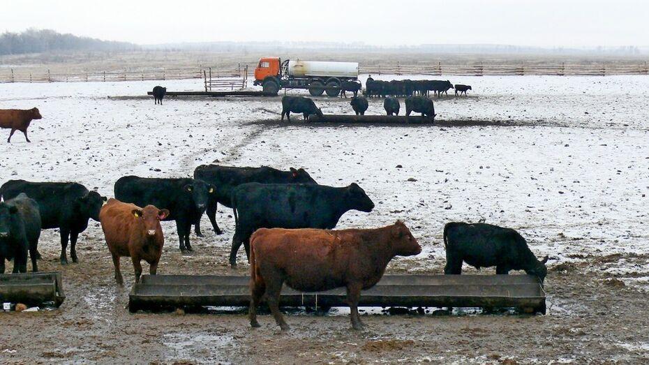 Поголовье погибающих в Грибановском районе коров выкупит воронежская компания «Заречное»