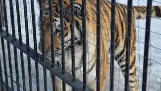 В Воронеже тигрица попыталась сбежать из клетки