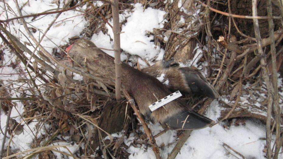 В Воронежской области браконьер застрелил заповедного лося