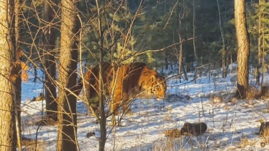 В сети появилось видео поимки сбежавшего в Воронеже тигра