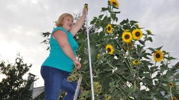 Жительница Эртиля вырастила гигантские подсолнухи